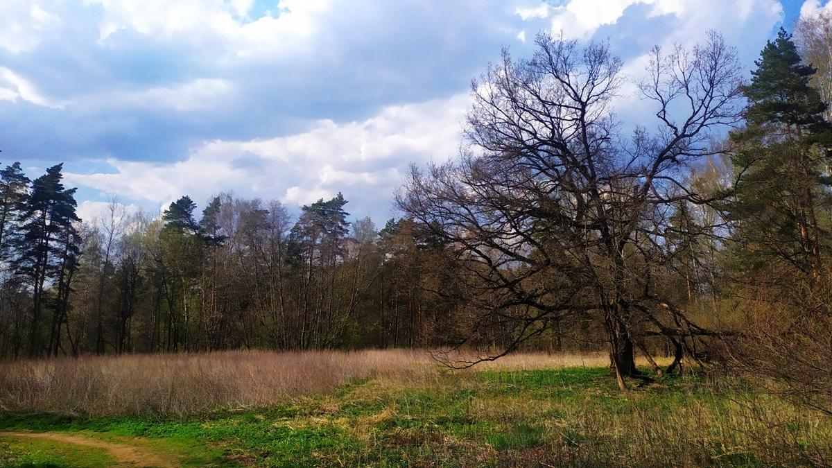 дуб на поляне в Ромашково